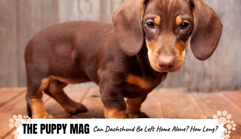 can-dachshunds-be-left-home-alone