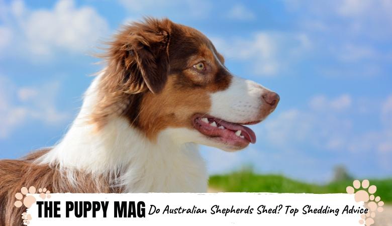 do-australian-shepherds-shed
