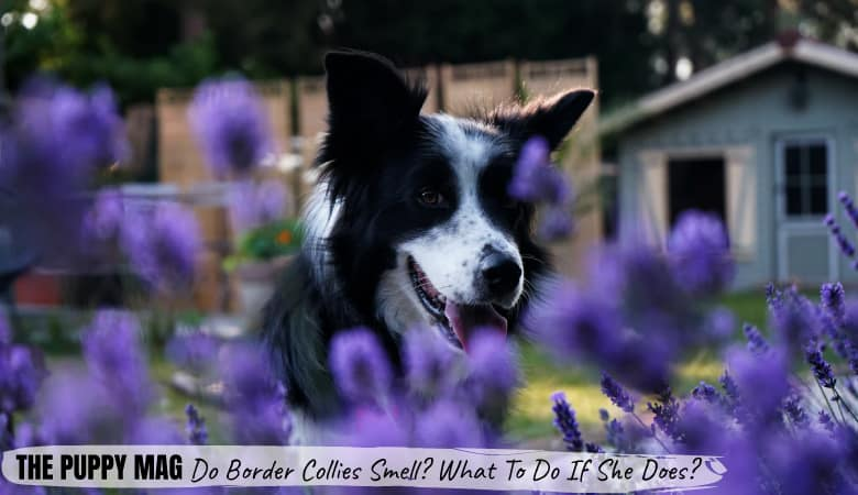 Do Border Collies Smell? What You Can Do If She Does!