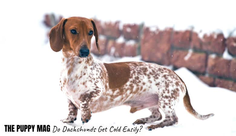 do-dachshunds-get-cold-easily
