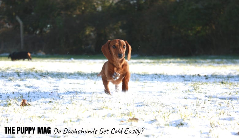do-dachshunds-get-cold-easily1