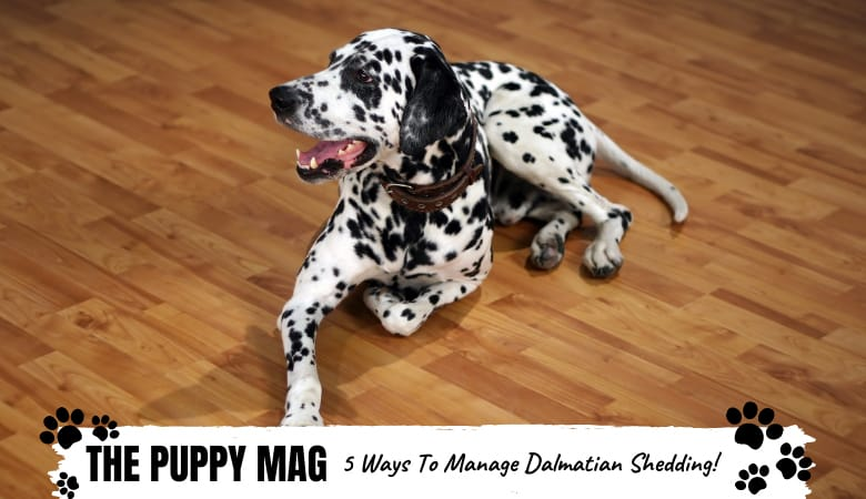 Do Dalmatians Shed? How To Reduce Dalmatian Shedding