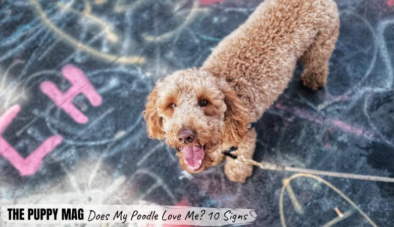 Does My Poodle Love Me? 10 Real Signs Of Affection