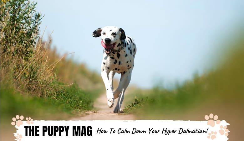 When Do Dalmatians Calm Down? (And How You Can Help!)