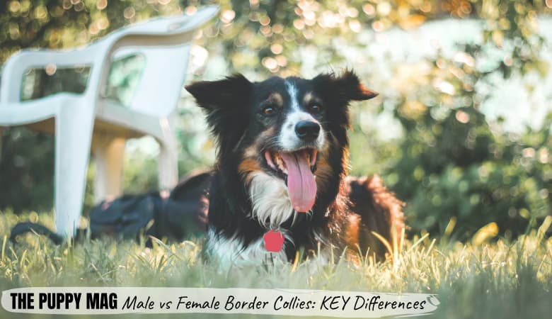 Male Vs Female Border Collie: The KEY Differences