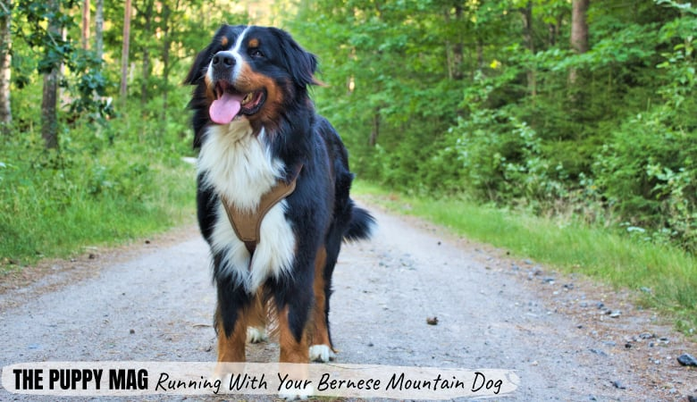Can Bernese Mountain Dogs Run With You? Tips, Advice, Gear