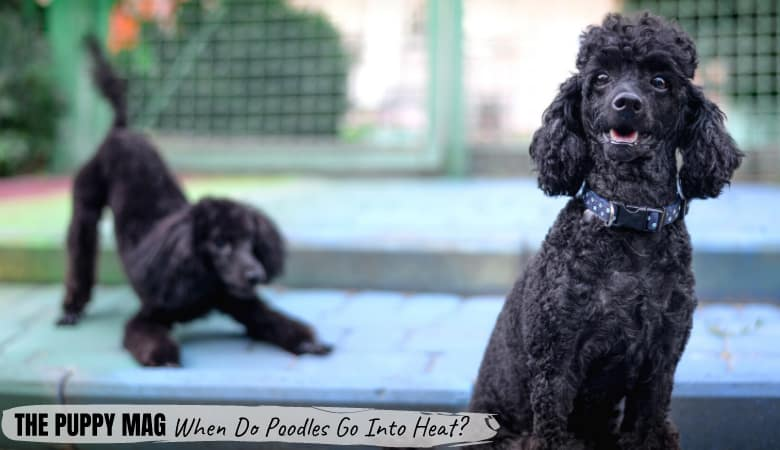 When Do Poodles Go Into Heat? Signs To Look Out For