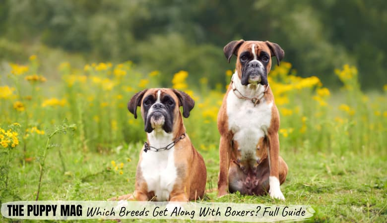 which-breeds-get-along-well-with-boxers