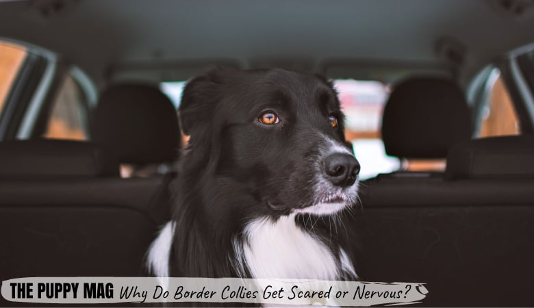 why-do-border-collies-get-scared-or-nervous