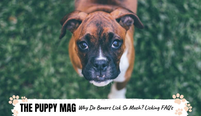 Why Do Boxers Lick So Much? Excessive Licking Problem