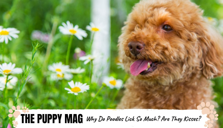 why-do-poodles-lick-so-much