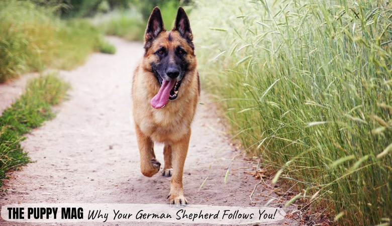 why-does-my-german-shepherd-follow-me-everywhere