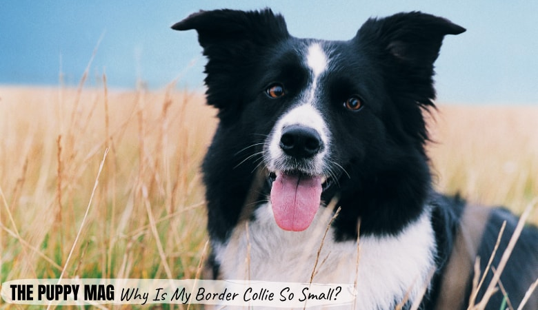Why Is My Border Collie So Small? The 4 Main Reasons