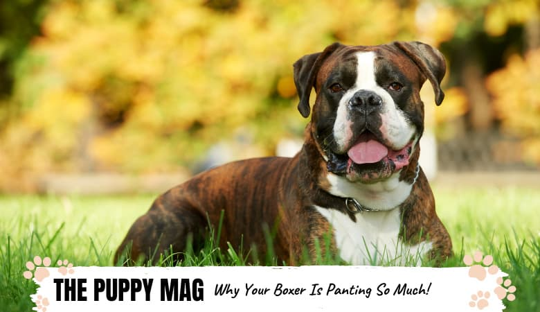 Why Is My Boxer Panting So Much? What Owners Should Know