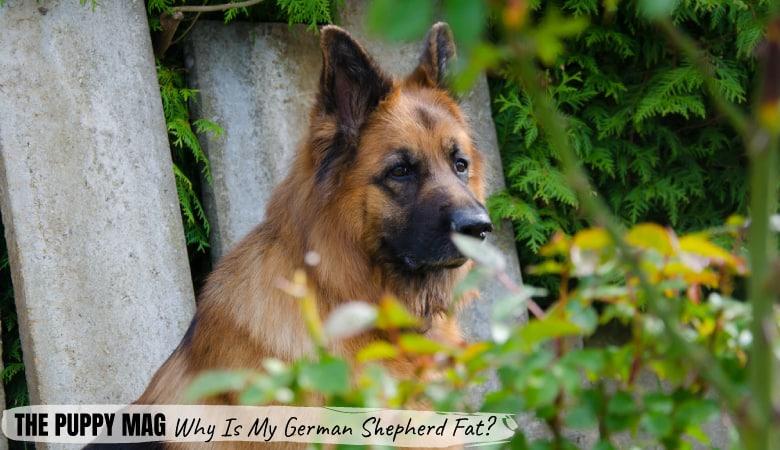 why-is-my-german-shepherd-fat