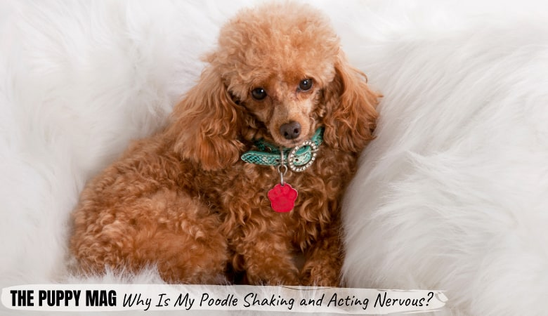 Why Is My Poodle Shaking & Acting Nervous? What You Can Do