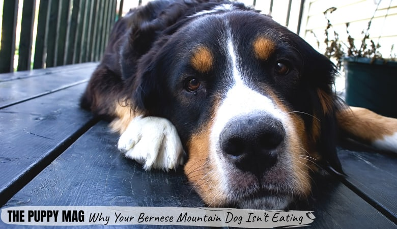 My Bernese Mountain Dog Won't Eat | Why & What You Can Do