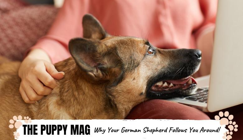 why-you-german-shepherd-follows-you-everywhere