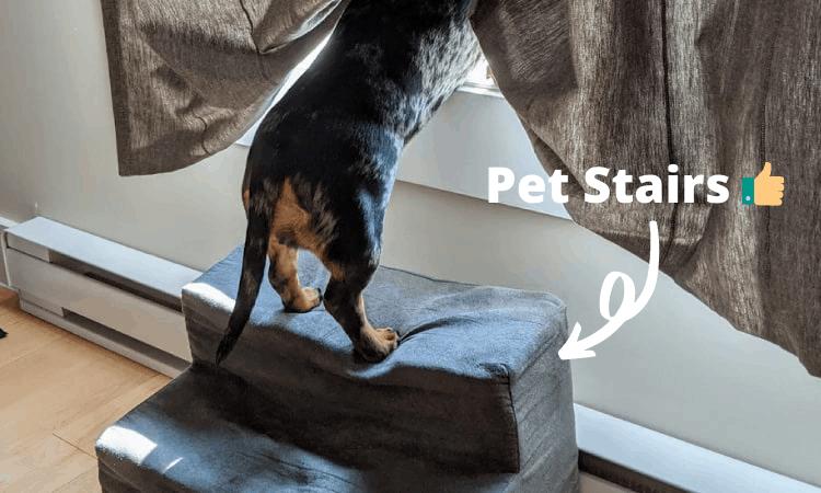 dachshund using stairs