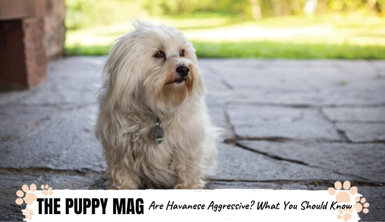 Can Havanese Be Aggressive? Here's The Surprising Truth
