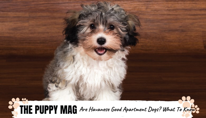 Are Havanese Good Apartment Dogs? 6 Reasons Why They Are