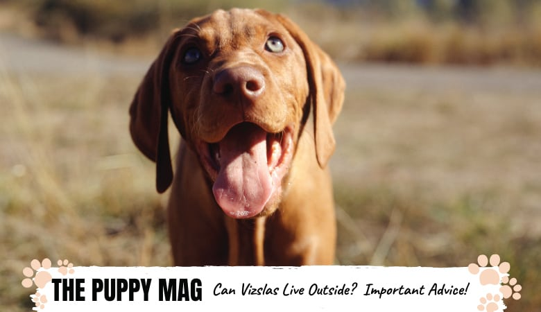 can-a-vizsla-live-outside