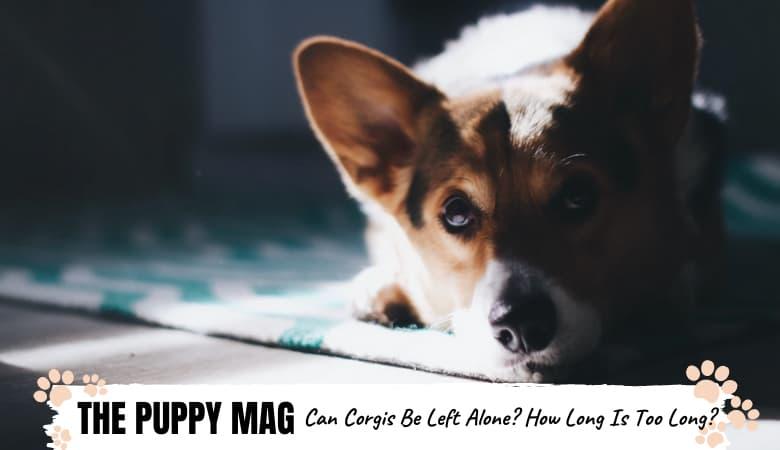 can-corgis-be-left-alone