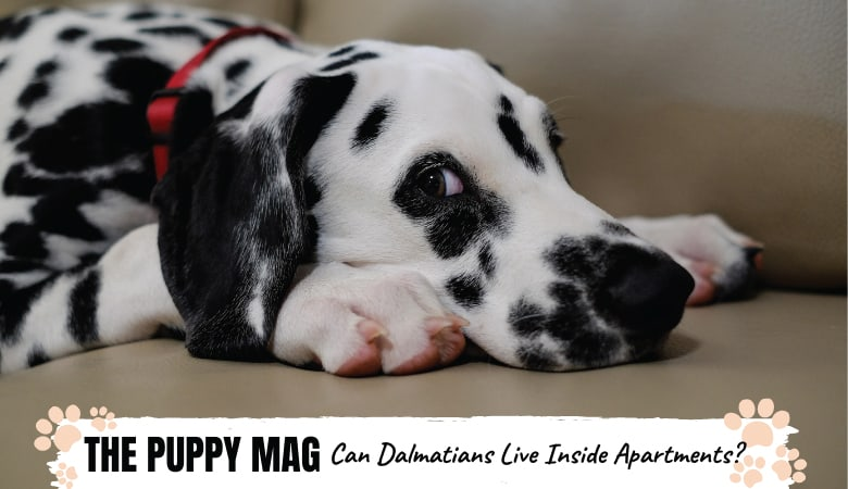 Can Dalmatians Live In Apartments? Here's Your Answer!
