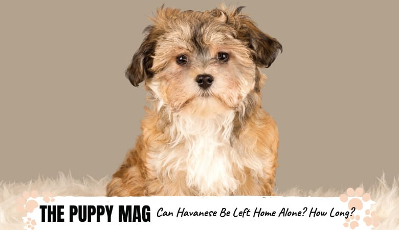 Can You Leave a Havanese Home Alone? FULL GUIDE