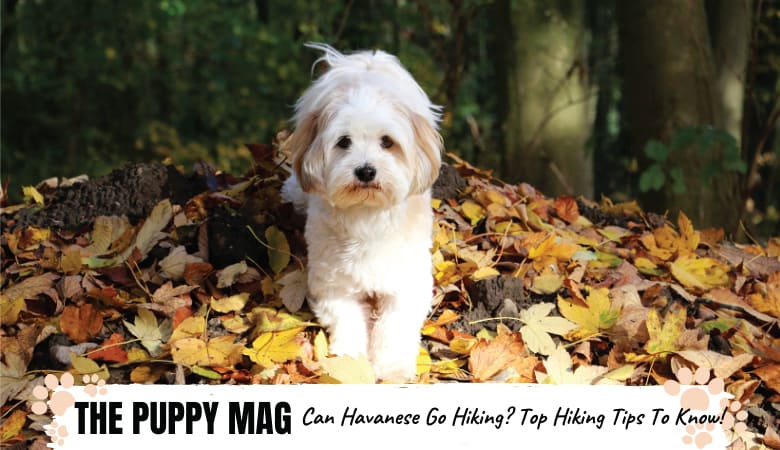 Can Havanese Go Hiking? Top Hiking Tips For Havanese