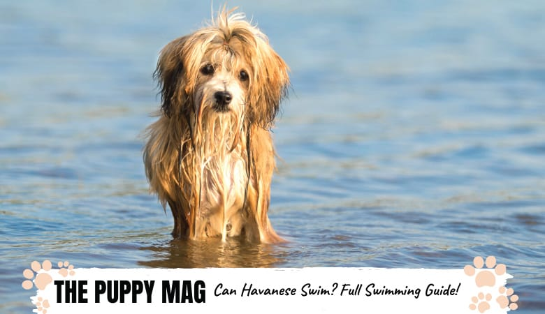 Can Havanese Swim? The Complete Havanese Swimming Guide