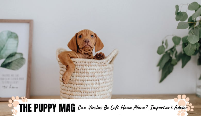 Can You Leave a Vizsla Home Alone? Important Advice