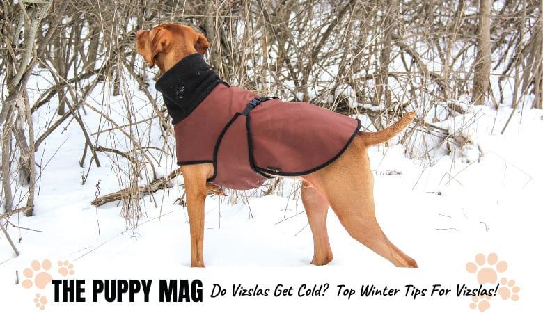 Do Vizslas Get Cold? Keeping Your Vizsla Safe In Winter