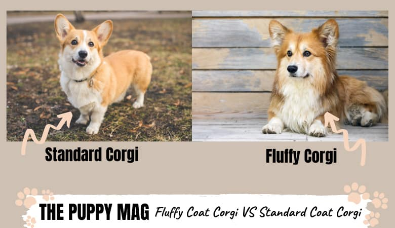 Your Corgi Is Fluffy or Standard