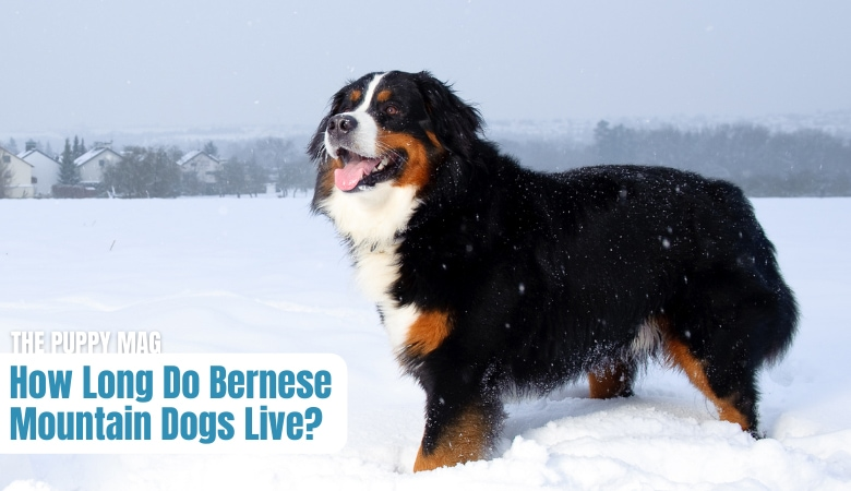 how-long-do-bernese-mountain-dogs-live
