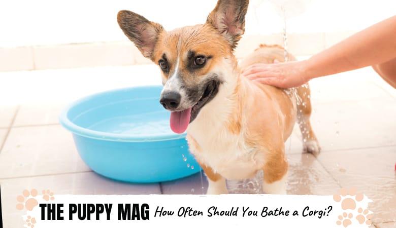 how-often-should-you-bathe-a-corgi
