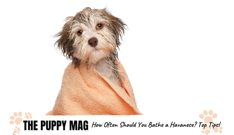 How Often Should You Bathe a Havanese? Top Bathing Tips