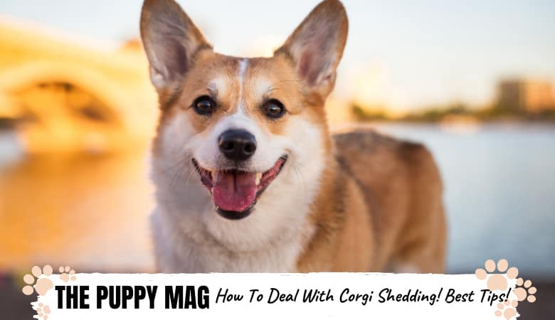 how-to-deal-with-corgi-shedding