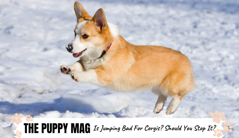 is-jumping-bad-for-corgis