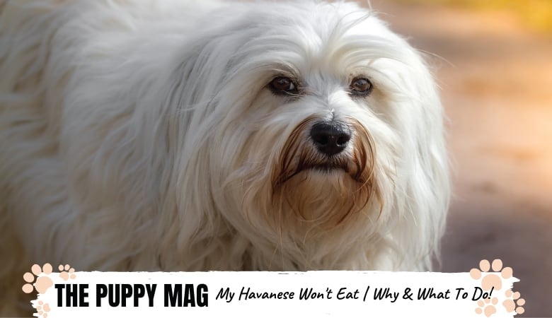 My Havanese Won't Eat | 6 Reasons Why & What You Can Do
