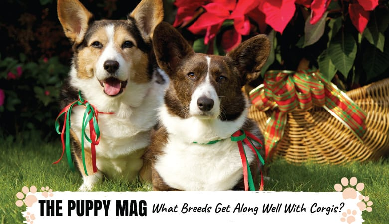 what-breeds-do-corgis-get-along-with