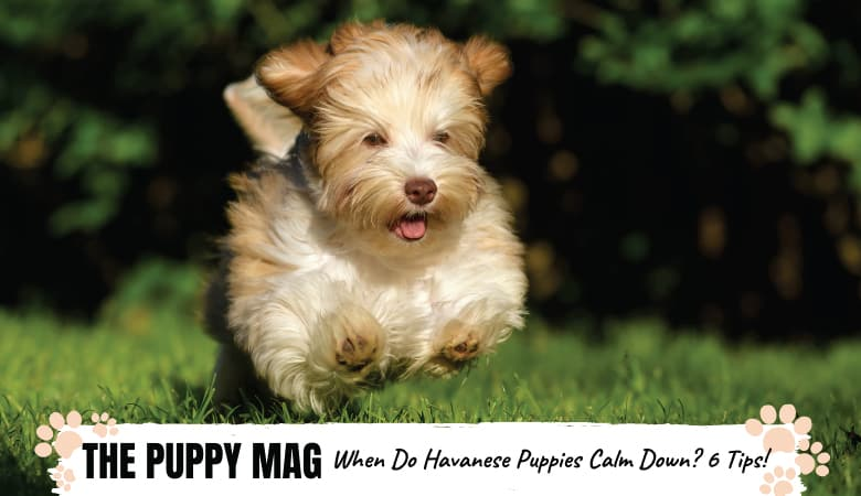 When Do Havanese Puppies Calm Down? And 6 Ways To Help