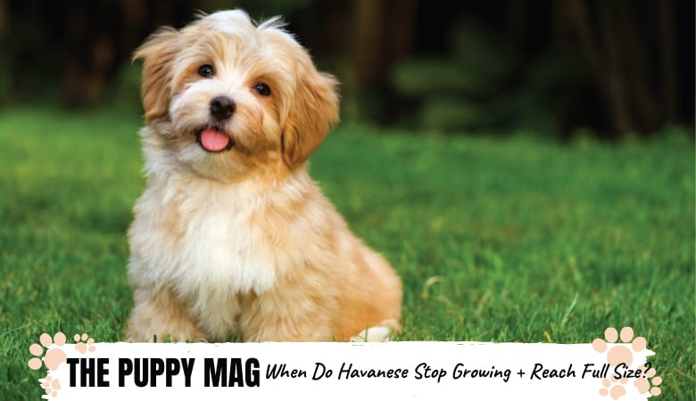 When Do Havanese Stop Growing and Reach Full Size?