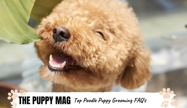 When Do Poodles Lose Their Puppy Coat? TOP Grooming FAQ's