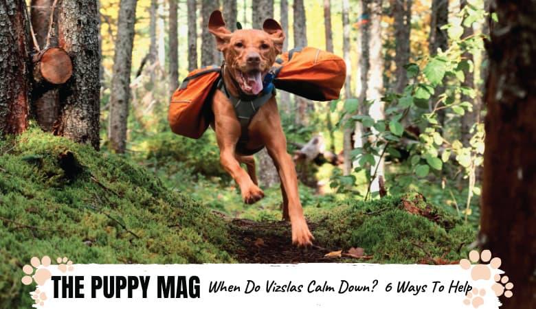 When Do Vizslas Calm Down? 6 Ways To Calm a Hyper Vizsla