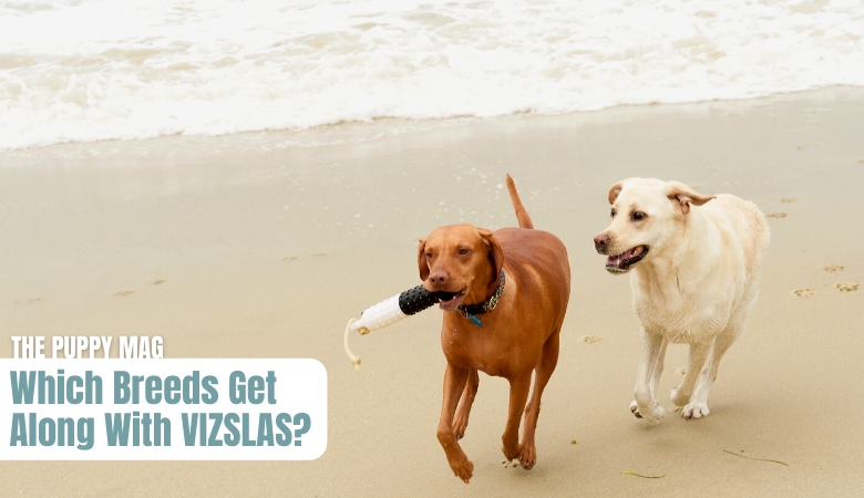 which-breeds-get-along-with-vizslas