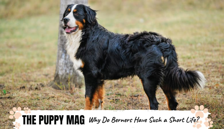Why Do Bernese Mountain Dogs Live So Short? TOP FACTS
