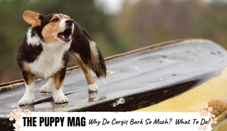Why Do Corgis Bark So Much? And How To Reduce It!