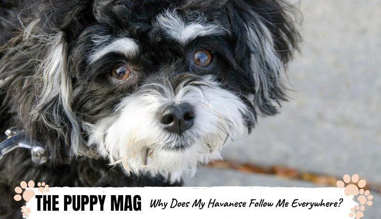 why-does-my-havanese-follow-me-everywhere1