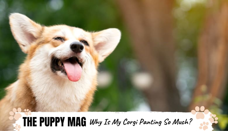 why-is-corgi-panting-so-much